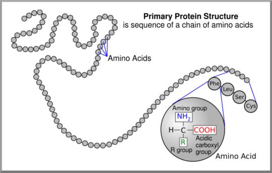 Diet - Protein: Primary Protein Structure